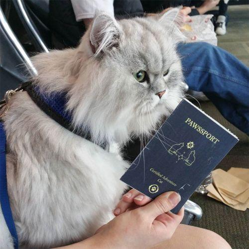 Gandalf Si Kucing Siberia yang Hobi Traveling 11