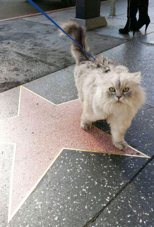 Gandalf Si Kucing Siberia yang Hobi Traveling 4