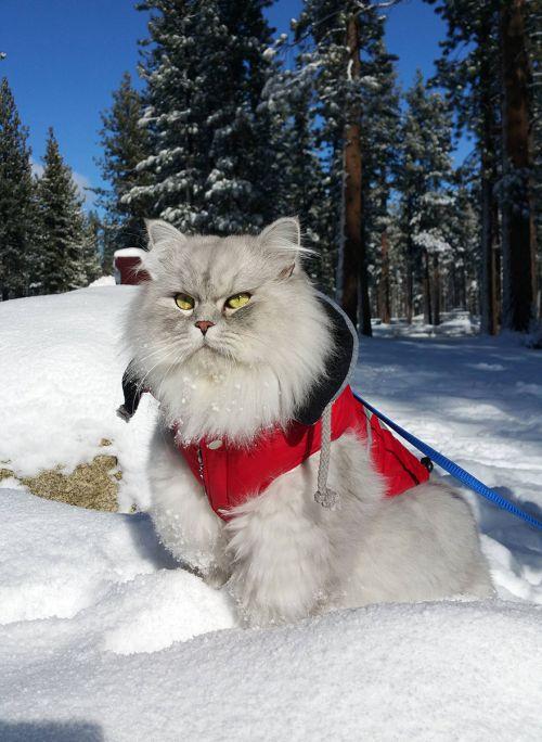 Gandalf Si Kucing Siberia yang Hobi Traveling 5
