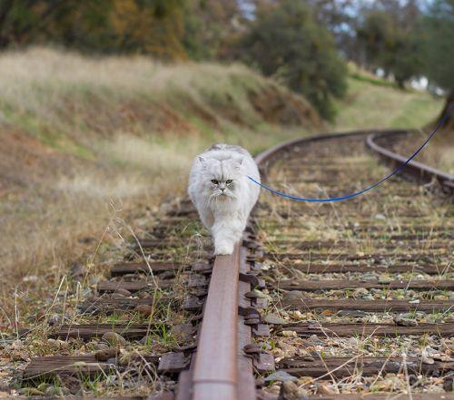 Gandalf Si Kucing Siberia yang Hobi Traveling 6