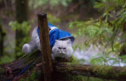 Gandalf Si Kucing Siberia yang Hobi Traveling 7