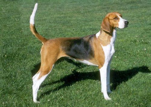 Gambar American Foxhound